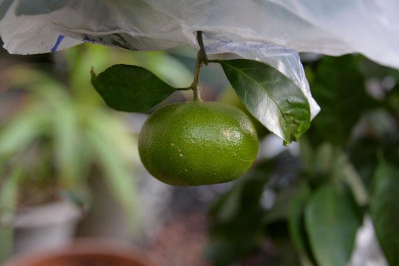 ミカンの木にもいくつか実が生っています
