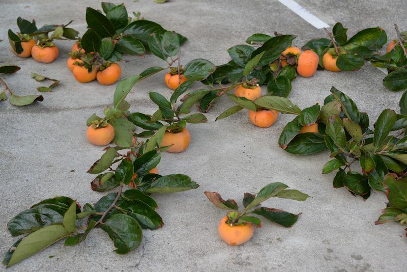 柿をすべて収穫