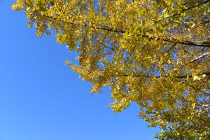 青空と色づいた銀杏
