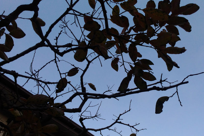 柿の葉は残り少なくなって