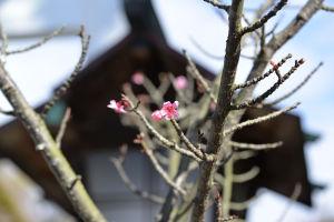 濃いピンク色の桜の花がしっかり