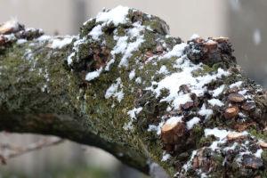 柿の木に積もった雪