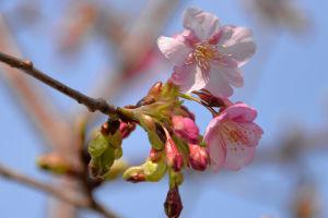 公園の河津桜は三分咲き