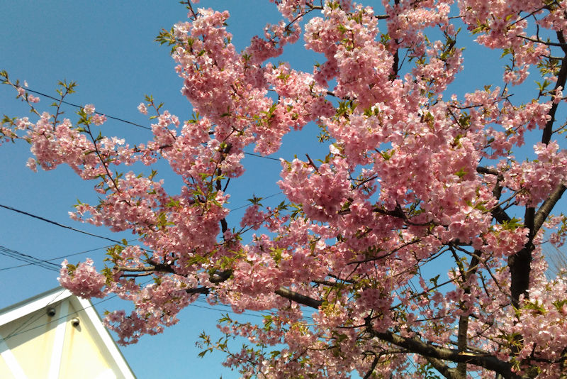 公園の河津桜は満開でした