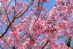 オカメザクラは濃いピンクの桜