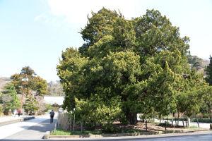 柏槇(びゃくしん)は樹齢 約760年