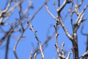 八重桜の蕾はまだ々堅そう