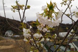 湘南国際村 桜が咲き始めました