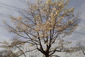 近くの山で咲くこぶしの木