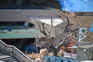桜は3分咲くらいでしょうか