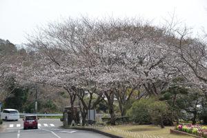 鎌倉霊園の入口の桜