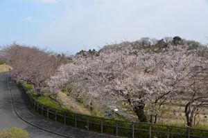 神奈川県道204号金沢鎌倉線と山桜