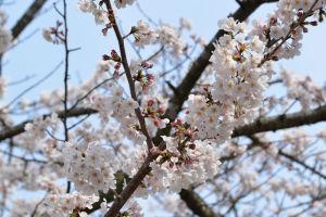 まだこれから咲く桜もみえますが