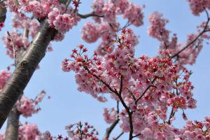 寒緋桜(カンヒザクラ)は濃いピンク