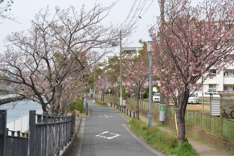 宮川沿いの桜は5分咲き