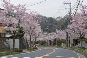 西柴団地内の桜