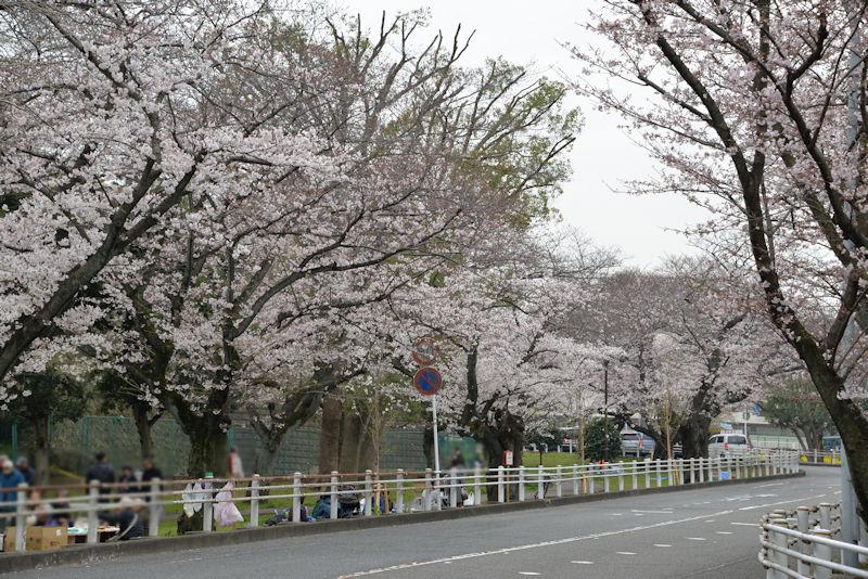 富岡総合公園の桜