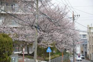 六浦台団地の桜