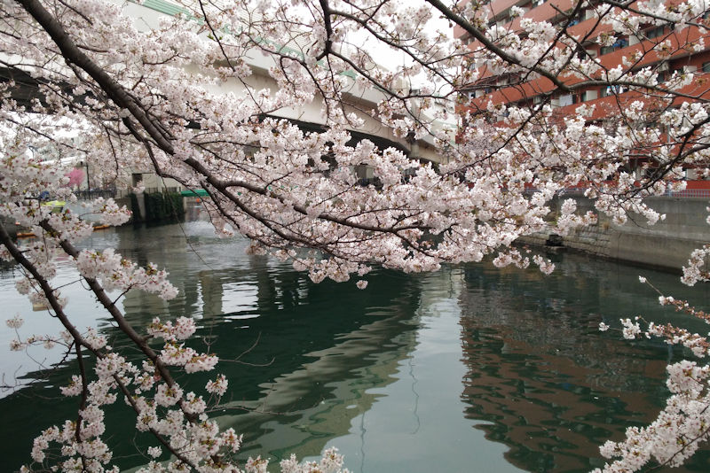 南区蒔田公園近くの大岡川沿いの桜