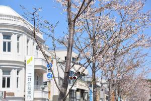 鎌倉鶴岡八幡宮と段葛の桜