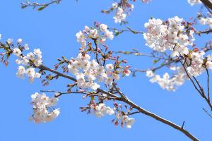 桜の満開まではあと少しです