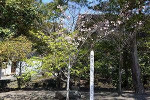 流鏑馬が行われる馬場の脇に咲く静桜