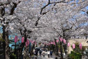 参道に咲くソメイヨシノ