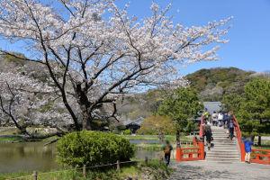 阿字ヶ池のほとりに咲く桜