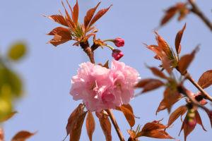 八重桜が咲いてきました
