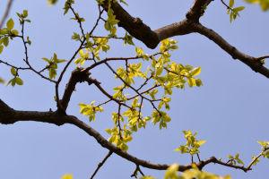 柿の木は今年もたくさん葉が茂って