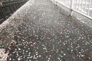 今朝は桜の花を散らす冷たい雨が