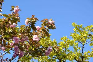 満開の八重桜と柿の新緑