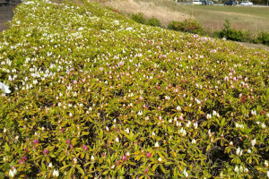 白いツツジは咲いてるのが目立つ