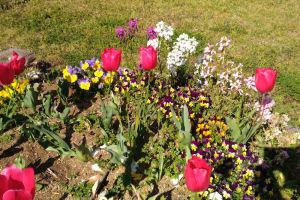 チューリップの周りにも色々咲いて