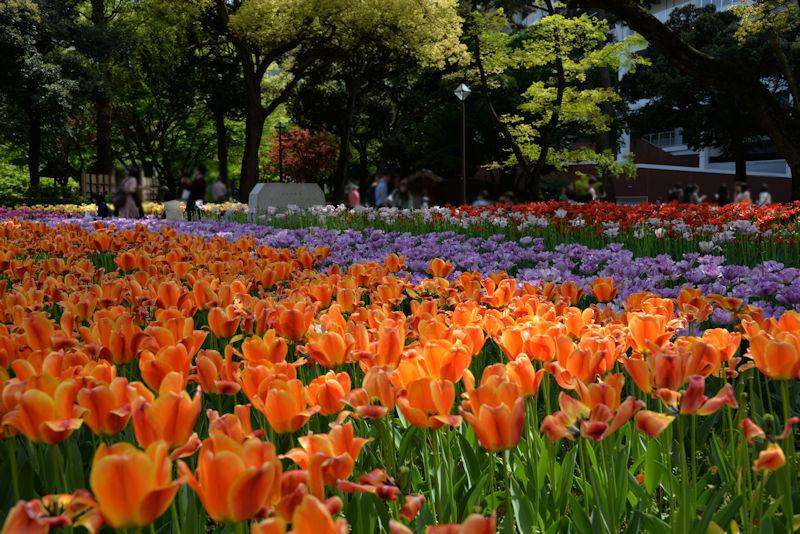 公園東側の花壇のチューリップ
