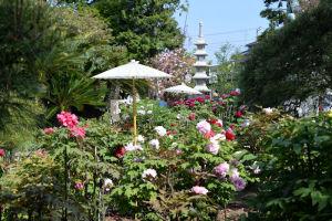 金沢区「龍華寺」の牡丹
