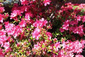 小ぶりの花のツツジ