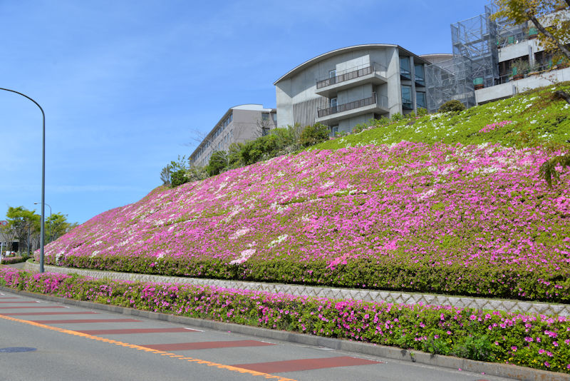 西公園前斜面に咲くツツジ