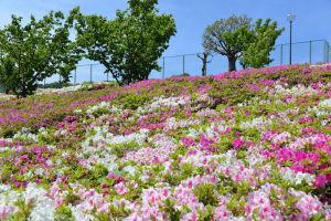 テニスコート前南側斜面に咲くツツジ