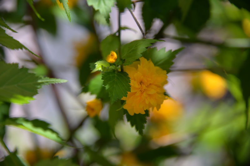 ヤマブキも咲いています