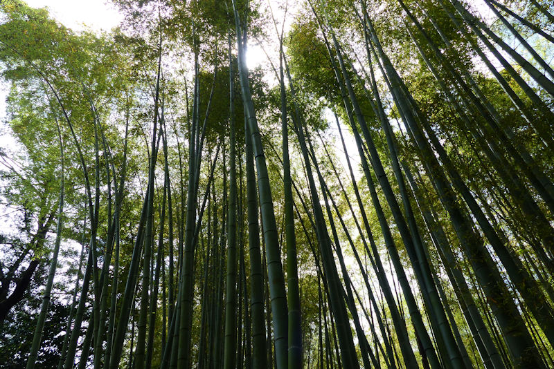 孟宗竹に太陽の光が入っています