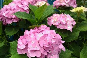 ご近所さんで咲いているアジサイ