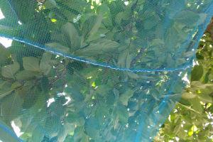 柿の落下防止ネットを張りました