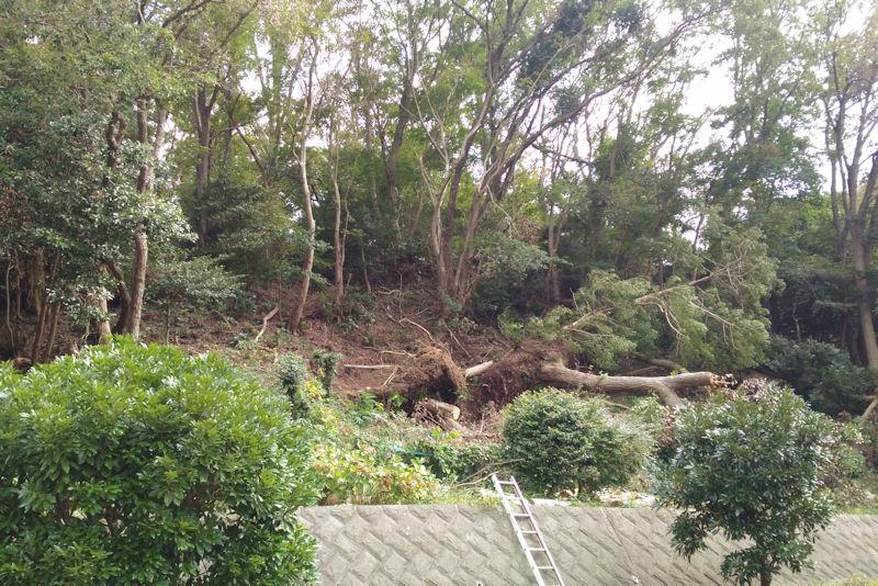 傾斜地にあった大きな木が