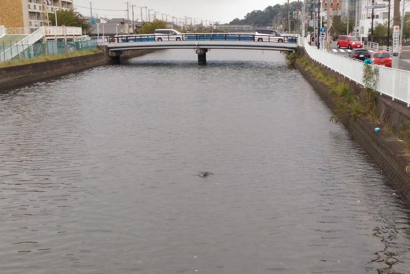 内川橋からみた侍従川に川鵜?