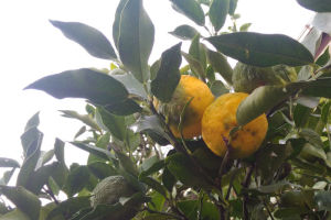 柚子も大分黄色くなって