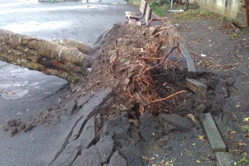 公園の大きな木も倒れています