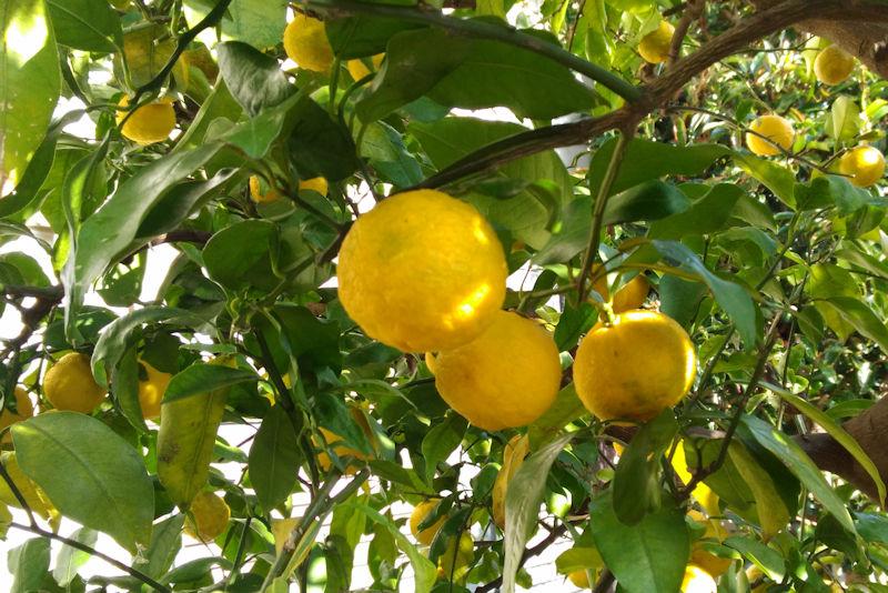 大きく色のきれいな柚子もあります