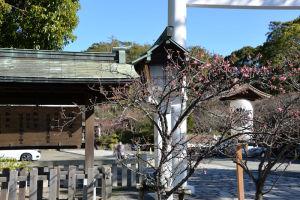 河津桜が咲き始めていました