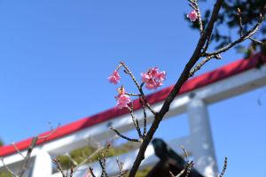 青空と河津桜が似合います